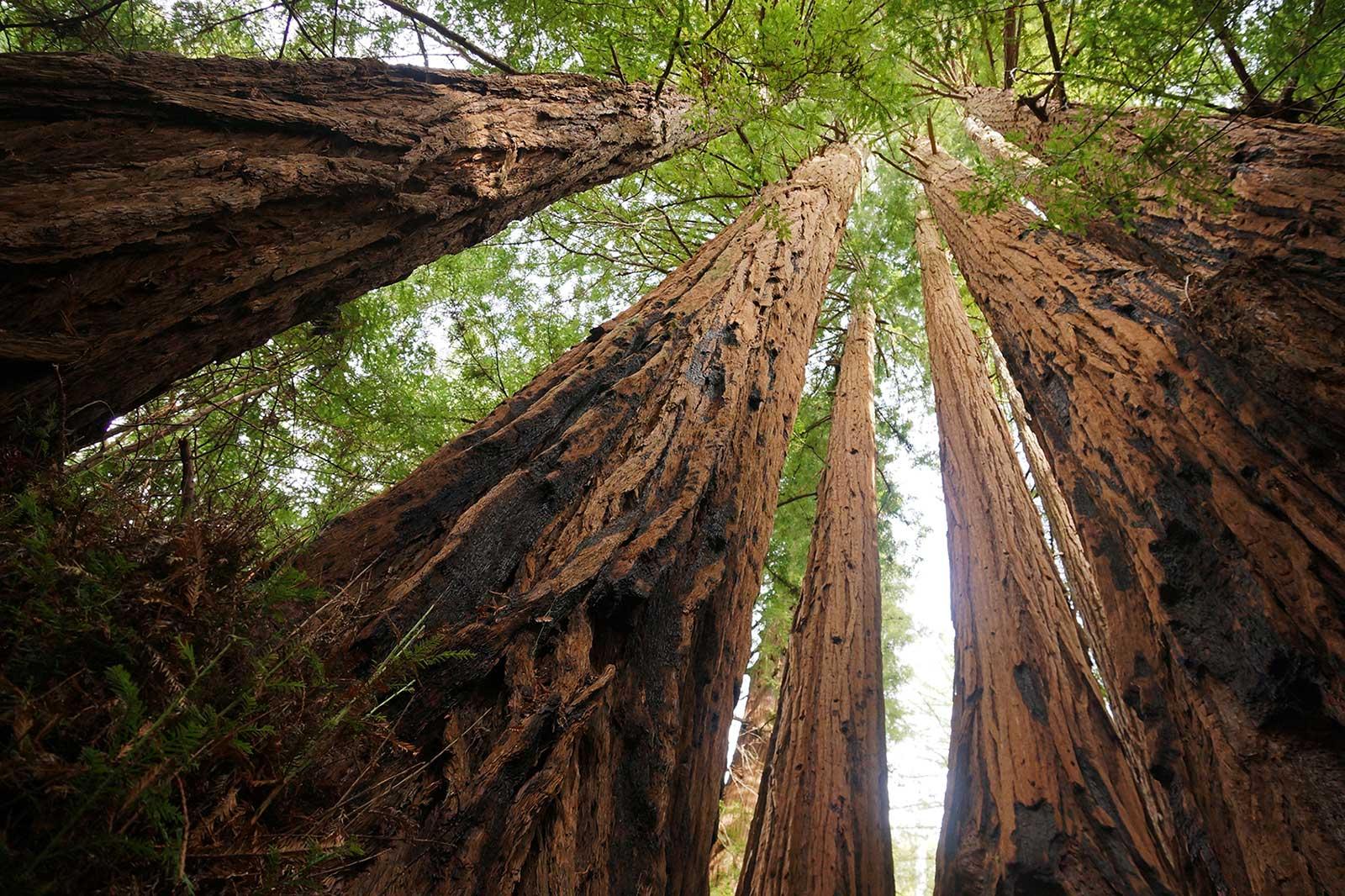 Redwoods Treewalk Rotorua NZ
